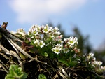 Vr-gslingeblomst (Erophila verna)